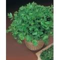 МАГДАНОЗ Стандартен (Petroselinum crispum)