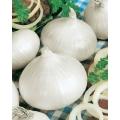 ЛУК Бял Объл Мусон (Юниски) (Allium cepa L.)