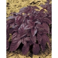 БОСИЛЕК Опал С Големи Виолетови Листа (Ocimum basilicum L.)