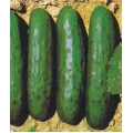 CUCUMBER Marketer (Cucumis sativus L.) CETRIOLO Marketer