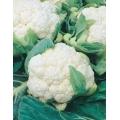 КАРФИОЛ Снежна Топка (Brassica oleracea botrytis L.) CAVOLFIORE Palla Di Neve