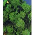 РЯПА ТИП БРОКОЛИ Мартна (Brassica rapa sylvestris esculenta L.)