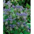 BORAGE (Borago officinalis) BORAGGINE