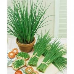 ДИВ ЛУК, Лукова трева (Allium schoenoprasum L.)