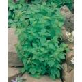МАЙОРАНА (Majorana hortensis) MAGGIORANA Gentile