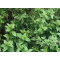 МЕНТА ДЖОДЖЪН ГЬОЗУМ МЯТВА (Mentha spicata L.) MENTA Piperita