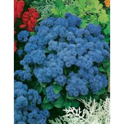 АГЕРАТУМ Висок Син (Ageratum mexicanum) AGERATO Alto Blue