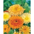 CALENDULA Beauty Of The Pacific (Calendula officinalis)