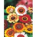ХРИЗАНТЕМА МИКС (Chrysanthemum Carinatum) CRISANTEMO Carinato MIX