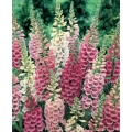 FOXGLOVE MIX (Digitalis purpurea)