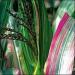 ЦАРЕВИЦА Декоративна Японска (Zee mays japonica L.)