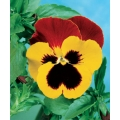 PANSY Tricolor Yellow And Red (Viola tricolor L.)