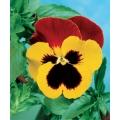 ТЕМЕНУГА Трицветна Жълта и Червена (Viola tricolor L.)