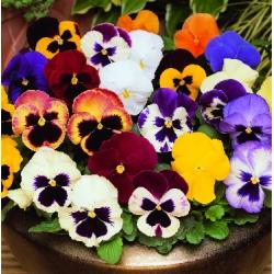 ТЕМЕНУГА Трицветна МИКС (Viola tricolor L.)