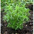 ЧУБРИЦА Градинска (Satureja hortensis L.) SANTOREGGIA