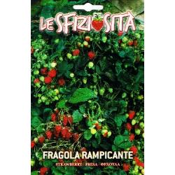 ЯГОДА ПЪЛЗЯЩА (Fragola ananassa) FRAGOLA Rampicante
